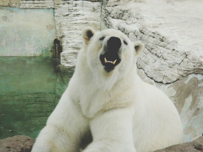 Hello ❤ Cute Animals Zoo Iloveanimals Animals Inthezoo White Whitebear Bear Hello World ✌