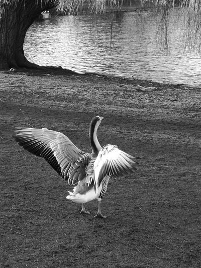 First Eyeem Photo Schwarzweiß Blackandwhite Nature Goose Bird Beauiful Wings Flügel Natur Gans Sunrise Wasser Water Teich