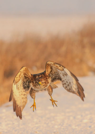 One Animal Animals In The Wild Flying Animal Wildlife Bird Bird Of Prey No People Spread Wings Winter Nature Living Organism White Background On The Move Beauty In Nature Eagle - Bird