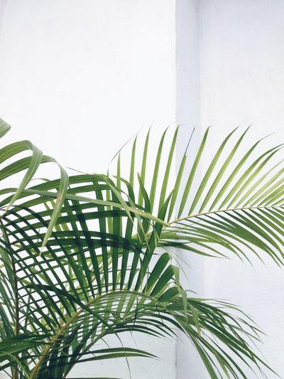 Palm Palm Plant