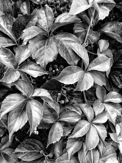Leaves in the playground ShotOnIphone Tinyberries No People Blackandwhite Black And White EyeEmNewHere Full Frame Backgrounds Beauty In Nature Growth Plant No People Nature Leaf Plant Part Tranquility EyeEmNewHere