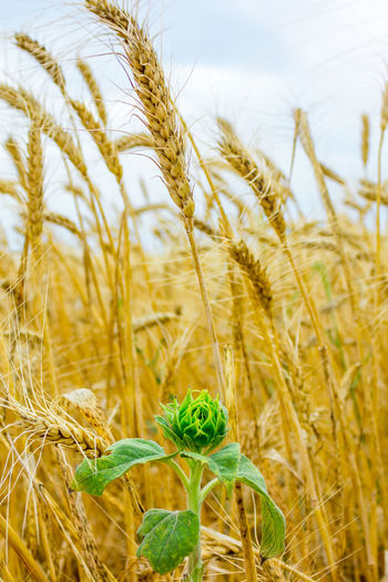 Close-up of wheat growing against sky in farm
