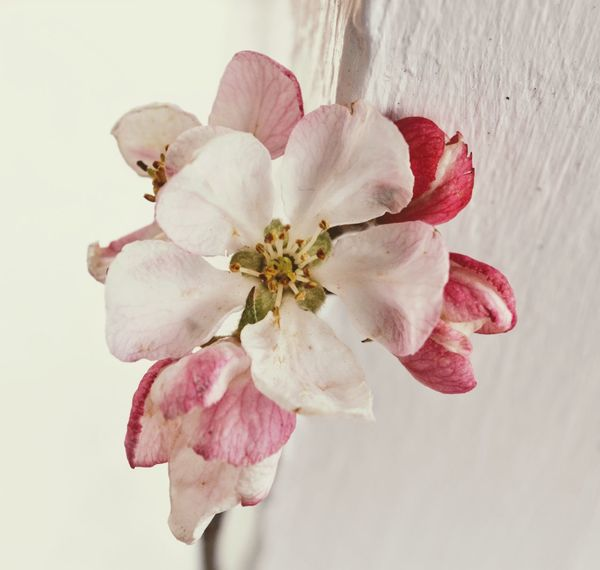 Nature Flowers, Nature And Beauty Flower Collection Flower Close Up Flower White And Pink Flower White Flower Apple Blossom Flower Blossom Flower Pink Millennial Pink