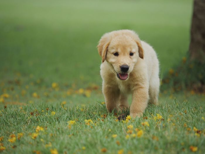 Golden Retriever Dog One Animal Animal Themes Canine Animal Mammal Dog Domestic Looking At Camera Plant Portrait Grass Young Animal Pets