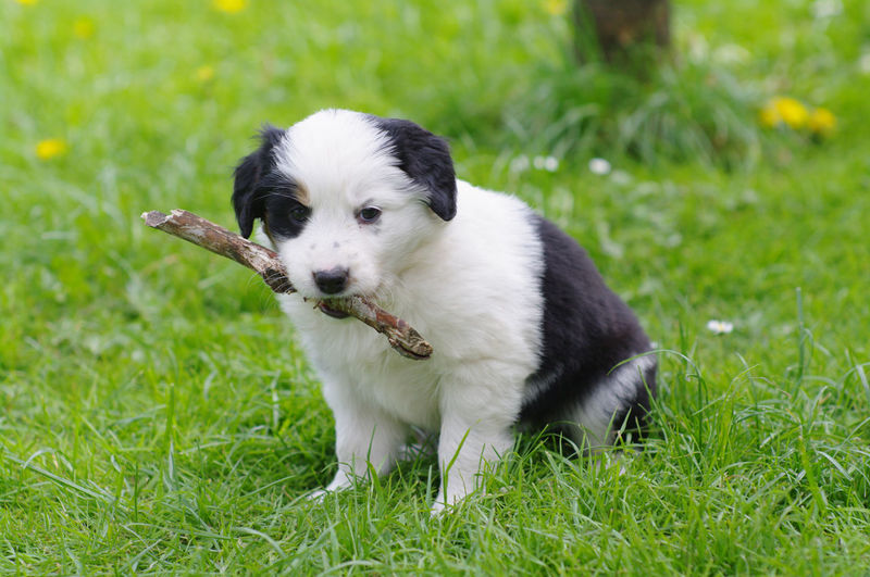Portrait of puppy carrying stick in mouth while sitting on grassy field