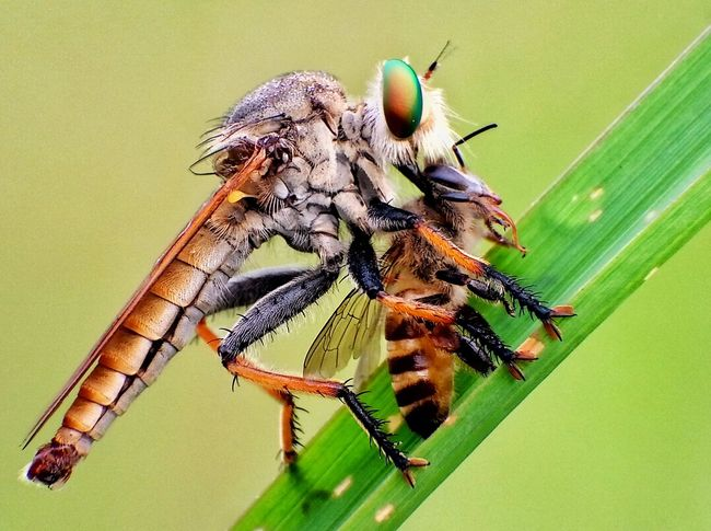 Robberfly Insect Animal Themes Animals In The Wild Animal Wildlife One Animal Nature No People Beauty In Nature Green Color