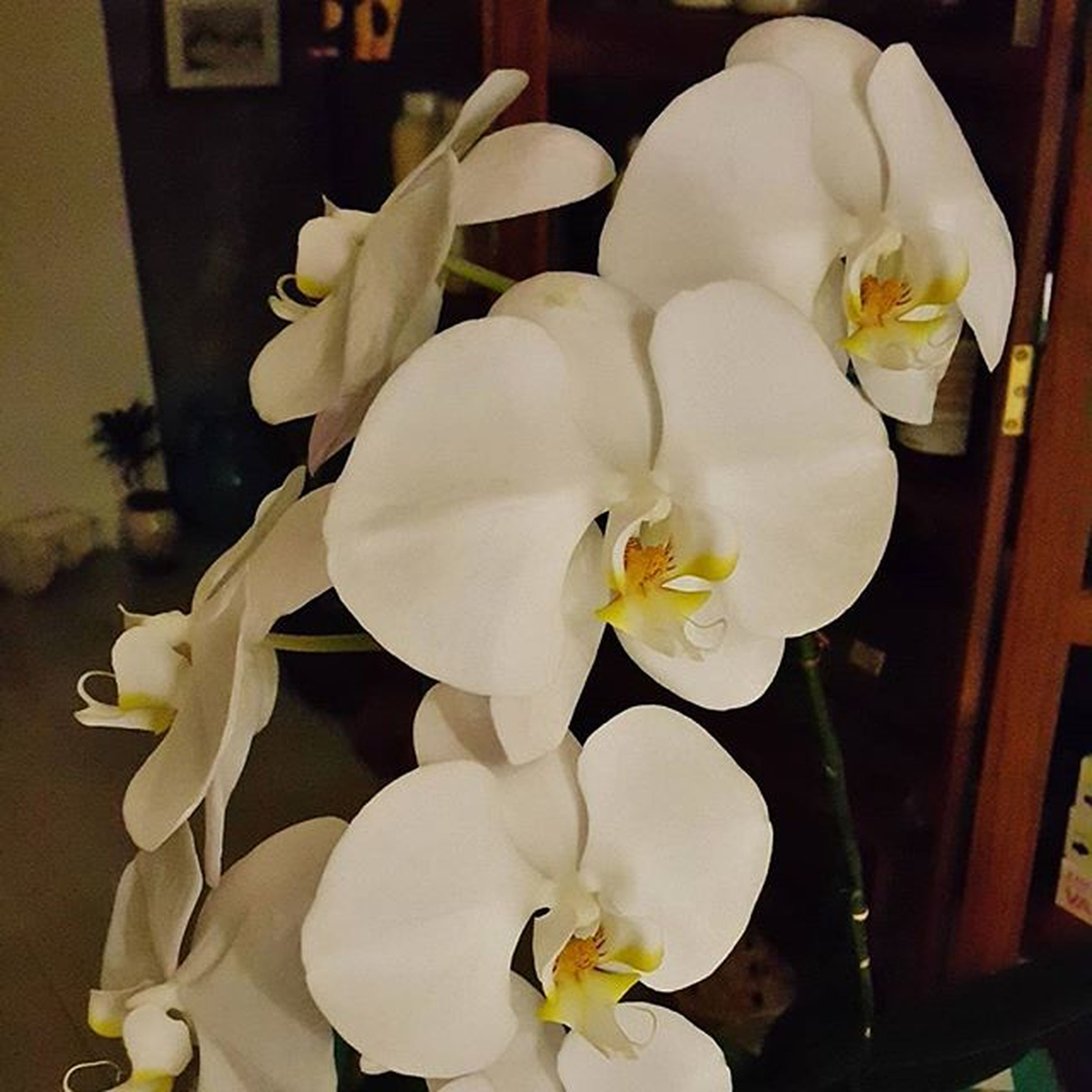 flower, indoors, petal, white color, flower head, fragility, freshness, vase, close-up, beauty in nature, home interior, orchid, white, table, nature, no people, growth, blooming, flower arrangement, plant