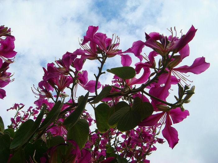 Beautiful bougainvillaea flower in blossom, sky nature background Pink Color Beauty In Nature Flower Growth Nature Close-up Flower Head Freshness Plant Flowering Plant Sky Vulnerability  Cloud - Sky Low Angle View Outdoors Bougainvillea Blossom Blooming Colorful Pink Flower Purple