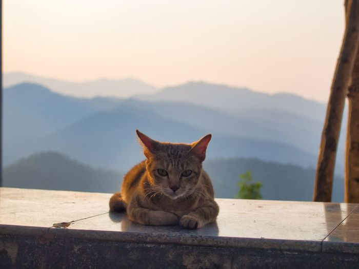 Portrait of cat sitting on retaining wall against mountains