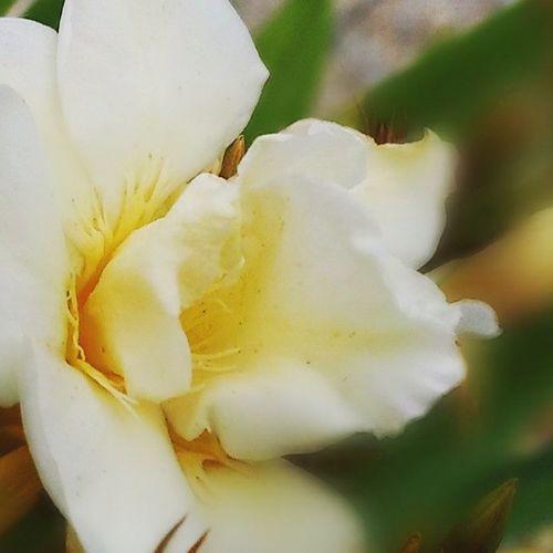 Oleander Belp Garten Blume Flowerporn