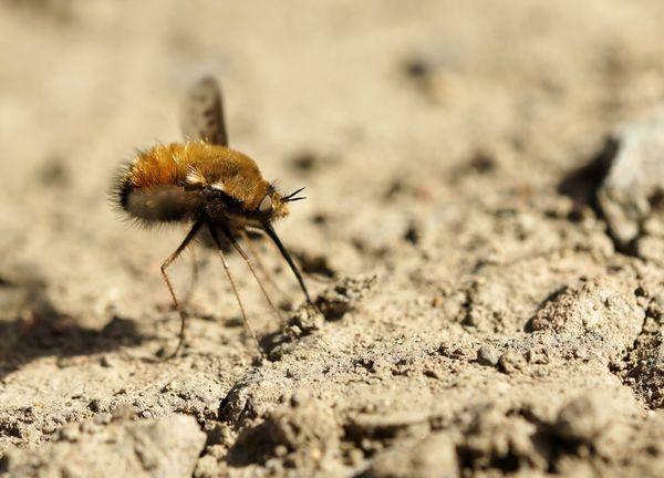 Wollschweber Insect Fliege Zweiflügler Nahaufnahme Macro Macro Photography Nature Photography Animal