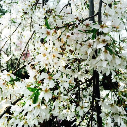 IPhoneography Whiteblossoms Newyear2018 FirstEyeEmPic Nature
