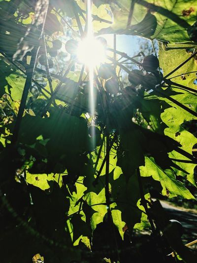 The Week On EyeEm Grape Vine Sitting Under A Grape Vine Tree Sunbeam Leaf Nature Sunlight Outdoors Growth Green Color Plant Day No People Water Beauty In Nature Tree Close-up Freshness Concord Grapes Concord Grape Vine Lost In The Landscape