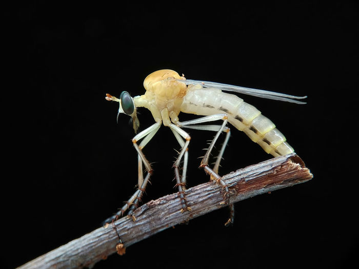 Diogmites fly Insect Animal Wildlife One Animal Animals In The Wild No People Animal Themes Black Background Close-up Nature Perching Day Outdoors