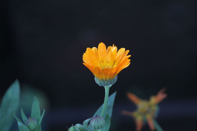 Cutness in small size Beauty In Nature Blooming Blossom Botany Canon Close-up DSLR Flower Flower Head Focus On Foreground Fragility Freshness Growth In Bloom Nature No People Orange Outdoors Petal Plant Pollen Selective Focus Softness Stamen Stem