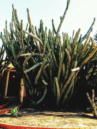 Cactus glory