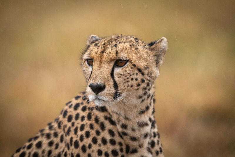 Close-up of cheetah in rain facing left Africa Kenya Masai Mara Kicheche Savannah Savanna Nature Travel Animal Wildlife Predator Cat Big Cat Cheetah Acinonyx Jubatus Animals In The Wild Animal Wildlife Animal Themes Mammal One Animal Feline Spotted Focus On Foreground No People Vertebrate Looking Away Looking Animal Markings Close-up Day Animal Head  Whisker