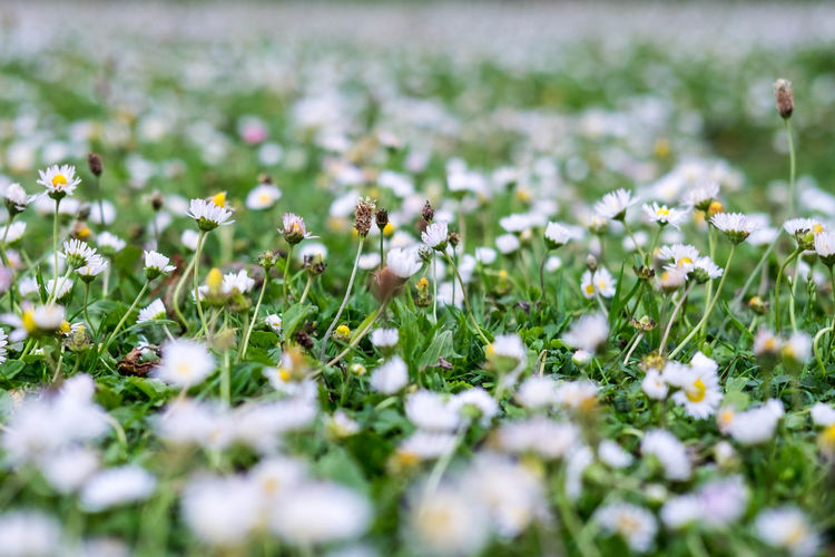 A photograph of a field full of tiny daisies taken in Regent's Park in London. Abundant Childhood Close-up Daisies Daisy Daisy Chain Day Field Flower Flower Head Flowers Fragility Freshness Grass Growth Nature No People Outdoors Plant Pollination Selective Focus Small Flowers Spring Flowers Summer Flowers Walking