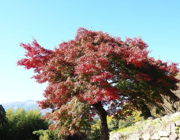 Maple Tree Growth Nature Low Angle View Beauty In Nature Clear Sky Day No People Tranquility Autumn Outdoors Sky Change Color Nature_collection Nature Photography Naturelovers