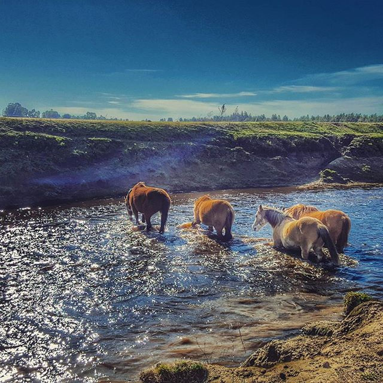 animal themes, mammal, animal wildlife, animals in the wild, group of animals, water, no people, domestic animals, nature, outdoors, day, young animal, togetherness, sky, american bison