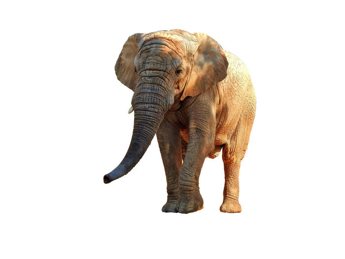 View of elephant over white background