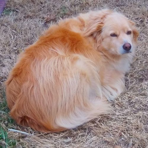 High angle view of golden retriever relaxing on field