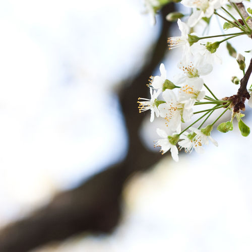 Cherry flower head at spring - France - paris Flower Flowering Plant Plant Beauty In Nature Freshness Vulnerability  Fragility Close-up Growth White Color Nature Selective Focus Flower Head Petal Day Inflorescence No People Springtime Tree Blossom Outdoors Pollen Cherry Blossom