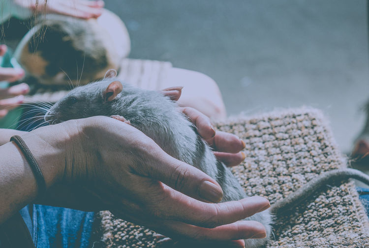 Cropped Image Of Hand Holding Rat At Home