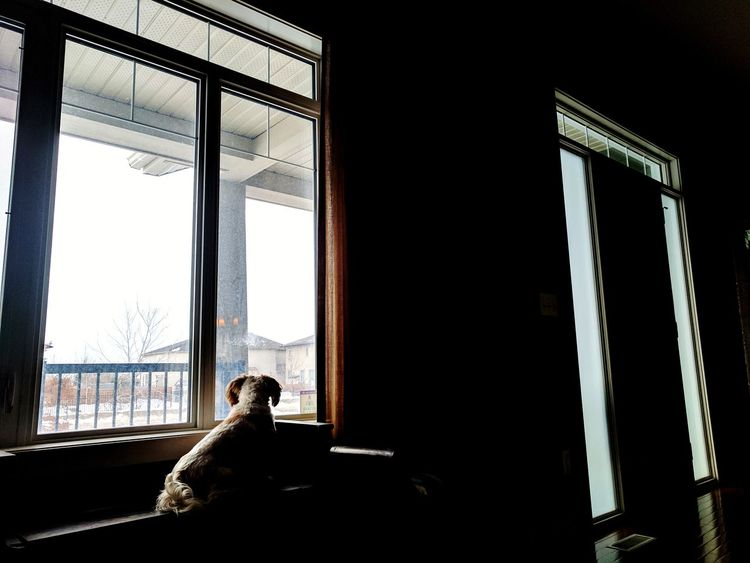 Junior looking out his window on a lazy Sunday morning. Window Indoors  Light And Shadow Contrast Dogs Dog Dogslife Dogs Of EyeEm ShiTzuForever🐶 Shi Tzu Shitzulovers