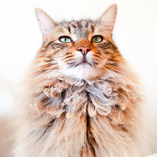 MAINE COON LYNX CAT PORTRAIT Animal Looking At Camera Portrait Domestic Cat No People Animal Themes Close-up Pets Domestic Animals Feline EyeEmNewHere Samsung Galaxy S7 Edge Stunning Cat Lovers Handsomecat Animal Eye Greeneyes Longhaired Cats Pedigree Proudcat Portrait Pet Photography Looking At Camera Feline Portraits White Background Handsome Boy