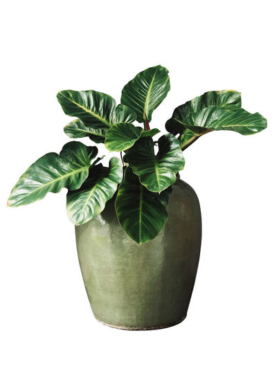 Close-up of potted plant against white background