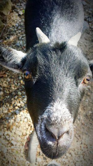 Goat Pets First Eyeem Photo