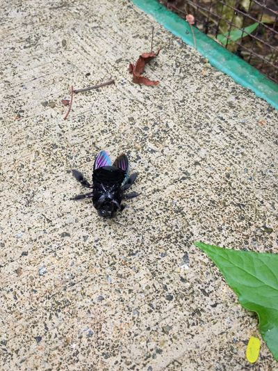 This large violet carpenter bee possibly flew into the fence of the garden enclosure and fell on its back on the pavement. It could be the same carpenter bee I just shot pictures of, feeding on some flower nectar minutes earlier. I was a little startled and about to walk around it, but it looked really distressed.. Bugslife Carpenter Bee Violet Carpenter Bee Xylocopa Violacea Giant Bee Black Bee Struggling Upside Down Distressed Fell Down Pavement High Angle View Insect Insect Paparazzi Animal Themes Animals In The Wild One Animal Outdoors Day No People Leaf Animal Wildlife Nature August 2017 —
