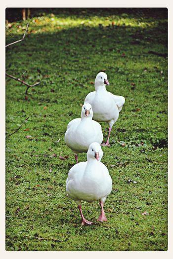 Gänsemarsch Gooses