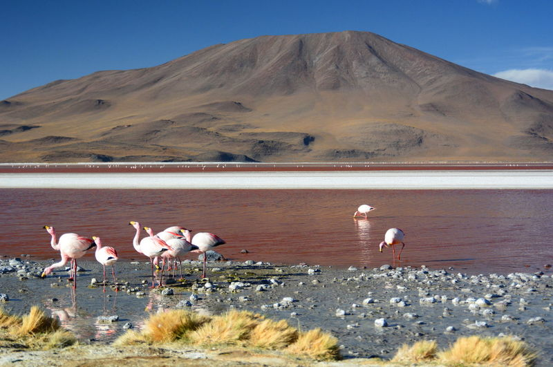Flamingos at Laguna Colarada. Eduardo Avaroa national reserve of andean fauna. Bolivia Andes Andes Mountains Animals Animals In The Wild Bolivia Eduardo Avaroa National Reserve Eyeem Bolivia Flamingo Flamingos Lagoon Laguna Laguna Colorada Landscape Mountain Nature No People Outdoors Red Lagoon Salt Lake Scenics South America Travel Volcano Water Wildlife Miles Away