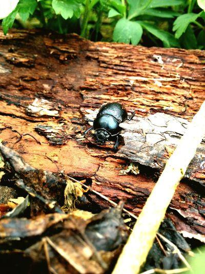 Beim Spaziergang GEFUNDEN und Schnell ein Foto von dem Käfer gemacht...