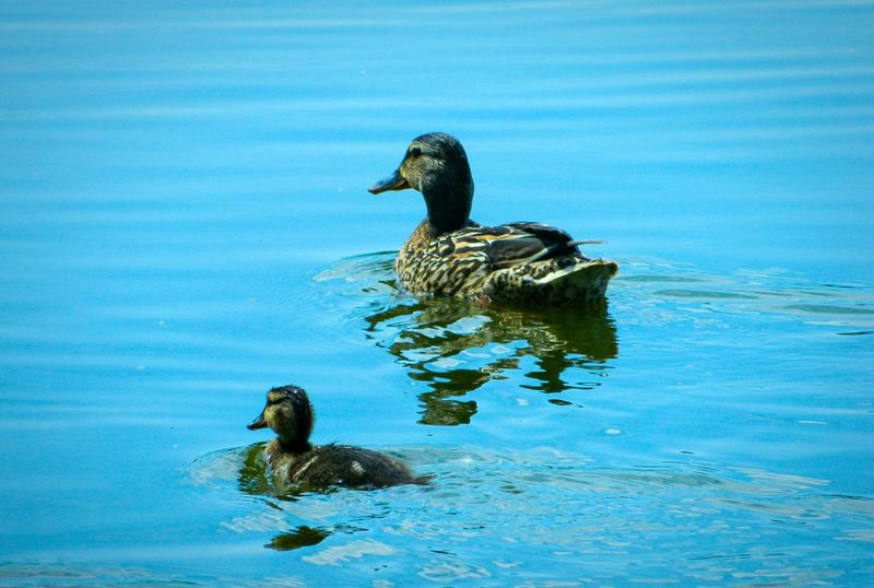 Ducks Birds Water Water_collection Nice Shot Cobalt Blue By Motorola Our Best Pics Eyeem Don't Like My Photos Eyeem Nature Nature