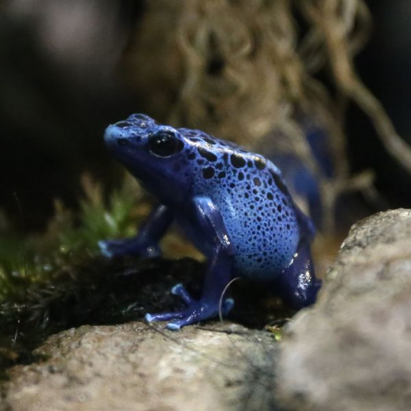 Blue Poison Arrow Frog Blue Animal Blue Frog Blue Poison Arrow Frog Exotic Animals Exotic Frog Frog Froggy Frogs Poison Rainforest Rainforest Frog Rare Species