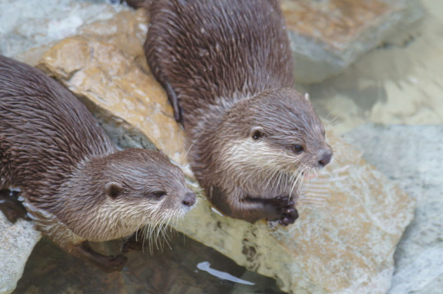 Seaotters SeaOtter