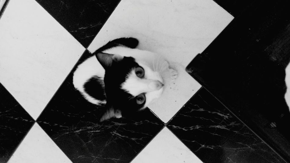 Cat on a chess board