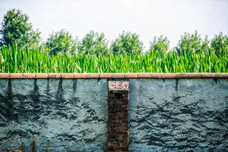 Cornfield Wall