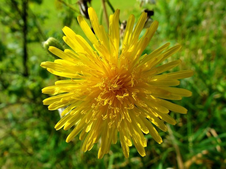 Wild yellow sowthistle flower Yellow Flower Beauty In Nature Blooming Close-up Day Flower Flower Head Focus On Foreground Fragility Freshness Full Frame Growth Nature No People Outdoors Petal Plant Sowthistle Springtime Wild Flower Wild Yellow Flowers Yellow Yellow Flower Up Close