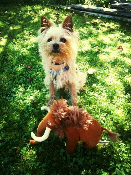 Yorkshire Terrier MyLove❤ Hunter Dogs