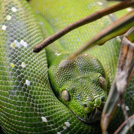 Serp Snakesofinstagram Snakes Reptil Animalia Tgif_nature Nikon NikonD5200 Nikonphotography Zoodebarcelona Zoobarcelona Zoo