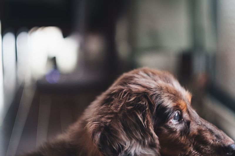 One Animal Pets Animal Domestic Mammal Animal Themes Canine Domestic Animals Dog Vertebrate Close-up No People Focus On Foreground Indoors  Animal Body Part Relaxation Animal Head  Home Interior Portrait Day
