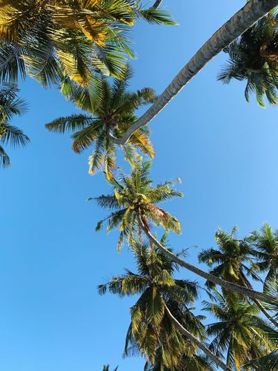 Island coconut palm-tree. #maldives Tree Plant Sky Low Angle View Growth Clear Sky No People Nature Day Beauty In Nature Blue Tranquility Green Color Branch Sunlight Leaf Outdoors Plant Part Sunny Scenics - Nature