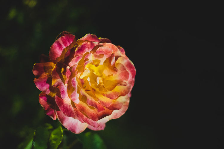 Bright Bloom Background Closeup Garden Beautiful Petal Groups Winter Passion Fresh Petals Macro Beauty Red Hobby Single Flora Mini Rose Yellow Spring Blossom Flowers Green Color Many Rosa Love Orange Leaf Flower Plant Summer Valentine Nature Lotus Rosé Colorful Black Low Key