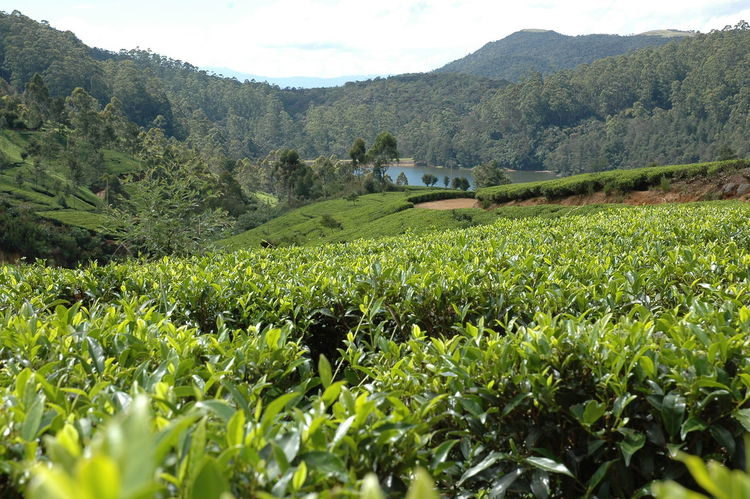 Tea Plant Agriculture Sri Lanka Sri Lanka Travel Sri Lanka 🇱🇰 Taking Photos Tea Tea Flower Teaflower Teaflowers Agricultural Land Agriculture Photography Cylon Day Nature Outdoors Picker Picking Plantage Plantation Sri Lankan Tea Picker Tea Pickers Tea Plantation  Teapicking Teaplantations