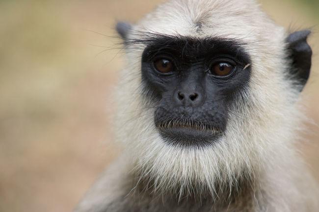 Langur Monkey Sri Lanka Langur Monkey Primates