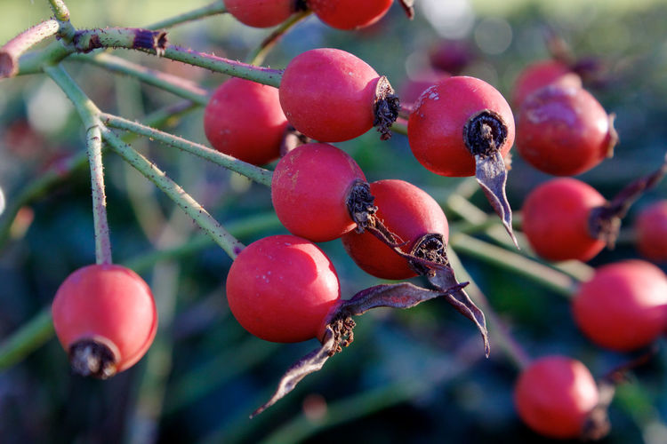 Fruit Food Growth Freshness Close-up Red Plant Berry Fruit No People Day Rosehips Outdoors